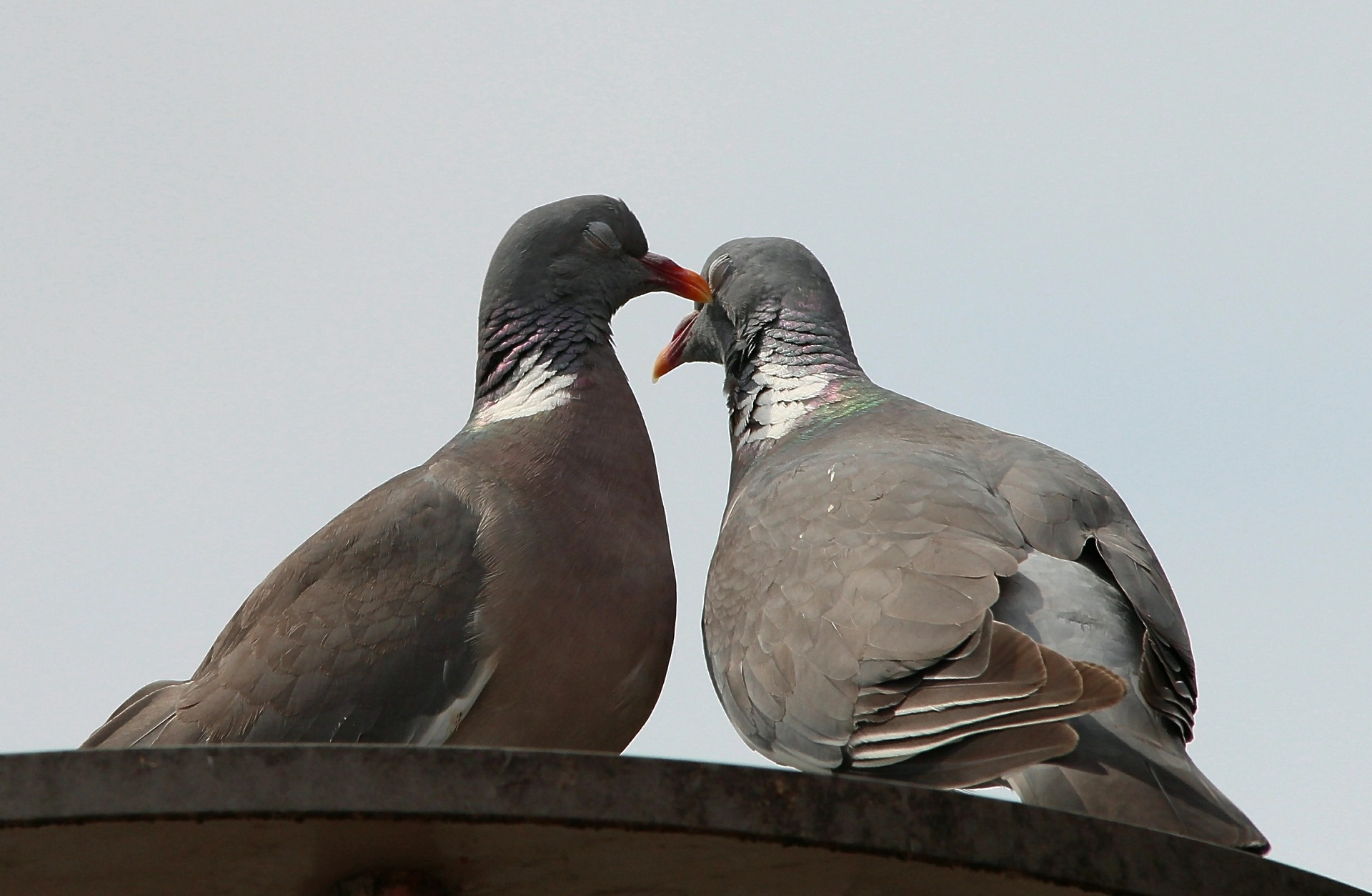 なかむつまじい鳩